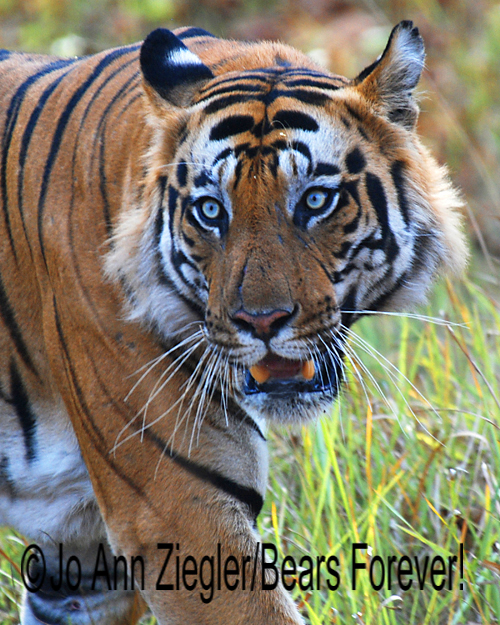 Shop Wyoming Bengal Tigers Photography Prints 5X7