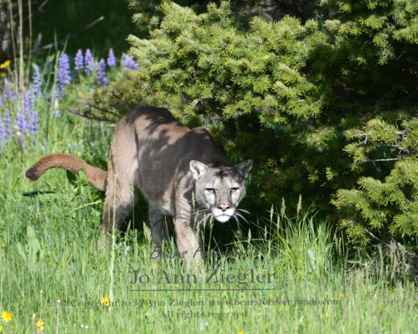 Shop Wyoming Mountain Lions & Lynx Photography Prints 5×7