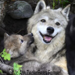 Shop Wyoming Wolf Critters Photography Prints 8×10
