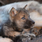 Shop Wyoming Wolf Critters Photography Prints 5×7