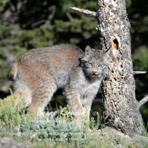 Shop Wyoming Mountain Lions & Lynx Photography Prints 8×10