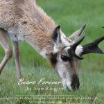 Shop Wyoming Buffalo & Antelope Critters Photography Prints 8×10