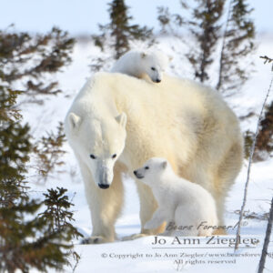 Shop Wyoming Polar Bears Photography Prints 8×10