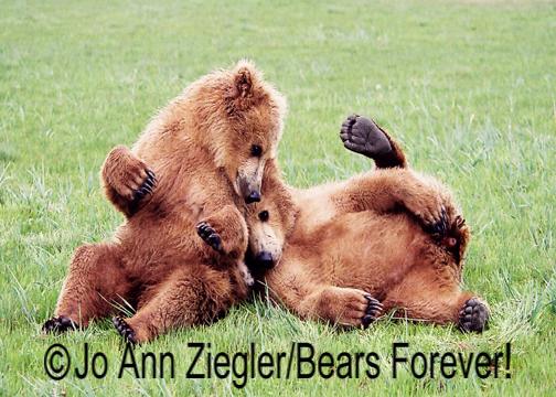 Shop Wyoming Brown Bears Photography Prints 5×7